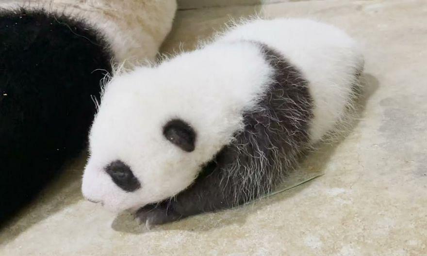 Singapore's panda cub opens his eyes