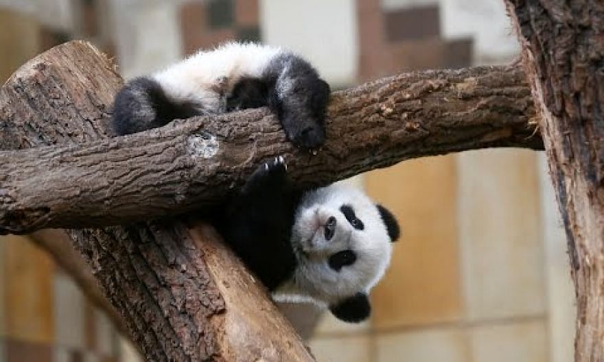 Scientists finally figure out why pandas are black and white