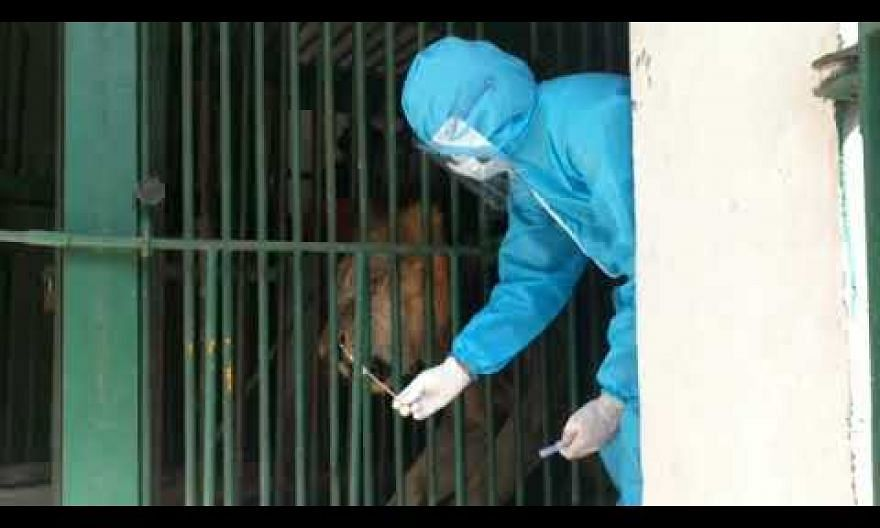 Zoo in Chennai loses two lions to Covid-19 but nurses 13 others back to health