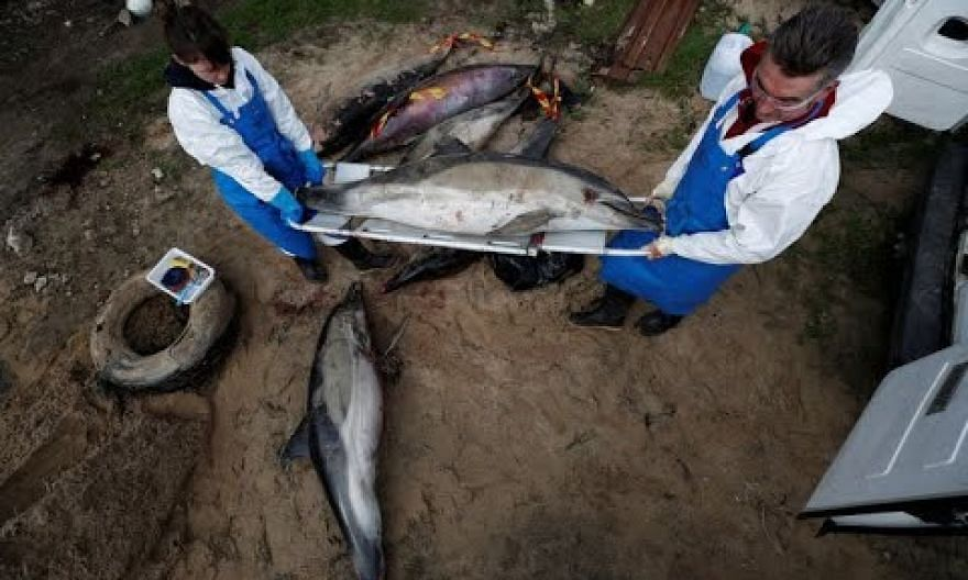 Record numbers of dead dolphins wash up in France