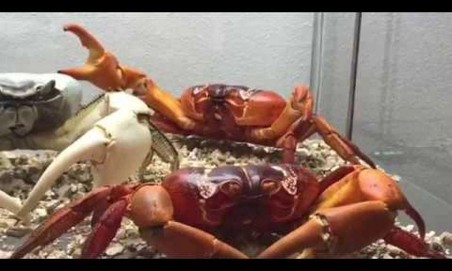Professor Peter Ng on Christmas Island crabs