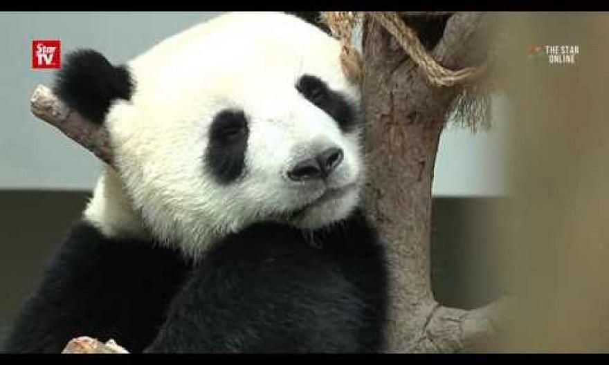 Visitors catch final glimpse of panda cub
