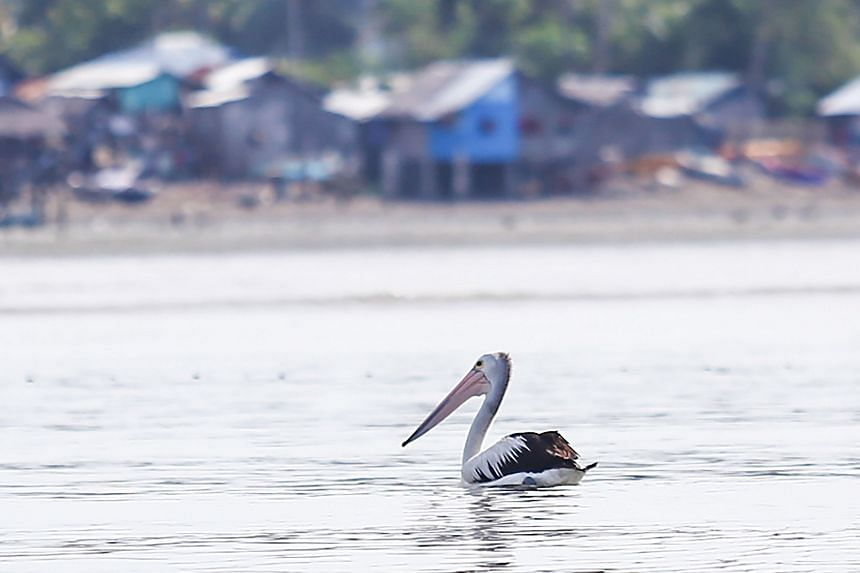 An Australian white pelican in the coastal waters of General Santos City on Sept 12, 2016.