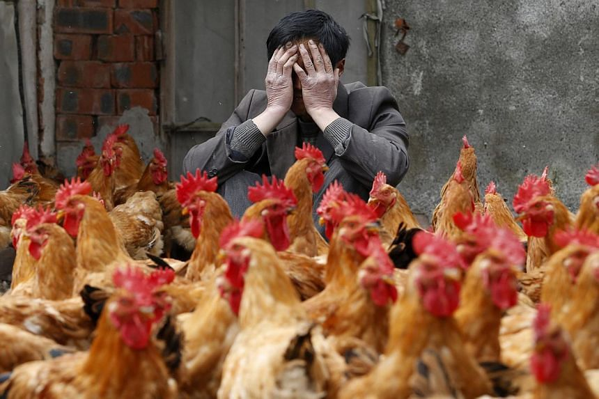 A breeder covers his face as he sits behind his chickens, which according to the breeder are not infected with the H7N9 virus, in Yuxin township, Zhejiang province on April 11, 2013. The death toll from the H7N9 bird flu outbreak in China has risen t