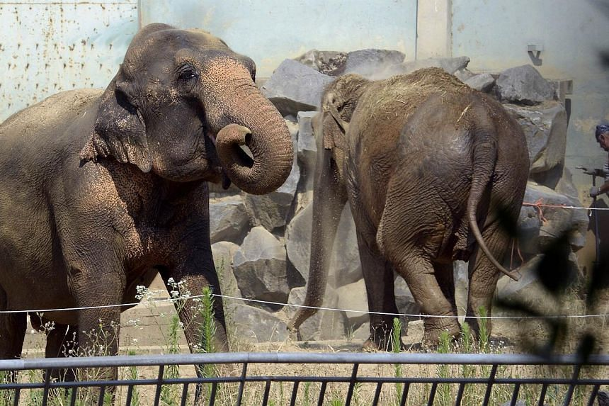 """Baby and Nepal, two elephants suspected of suffering from tuberculosis, are seen in their enclosure on July 11, 2013 at the """"Parc de la Tête d'Or"""" Zoo in Lyon, central eastern France. Two elephants saved from euthanasia after an outcry in France lef"""