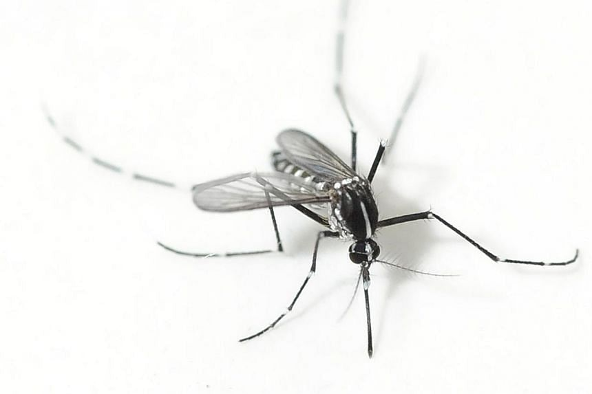 An adult Aedes albopictus mosquito at the Environmental Health Institute. The number of new dengue infections may have fallen for the fourth week in a row, but Minister in the Prime Minister's Office Grace Fu has warned against complacency. -- ST FIL