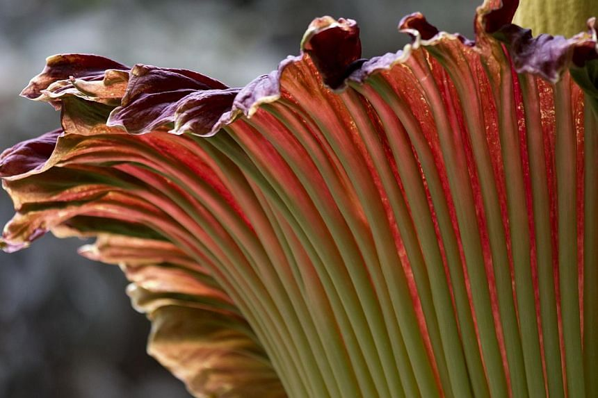 "A Titan arum, also knows as the ""corpse flower"" is seen in bloom at the US Botanic Garden in Washington, on Monday, July 22, 2013, where visitors hope to get a whiff of its characteristic smell of rotting flesh. -- PHOTO: AP"