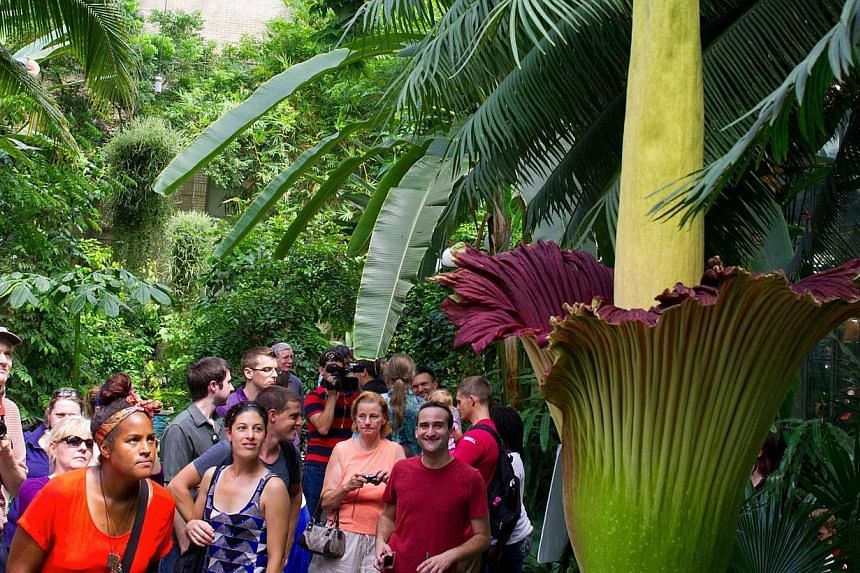 Tourists get a look at the Titan Arum plant (Amorphophallus titanum), also known as the corpse flower or stinky plant in full bloom at the United States Botanic Garden Conservatory on July 22, 2013 in Washington, DC.-- PHOTO: AFP