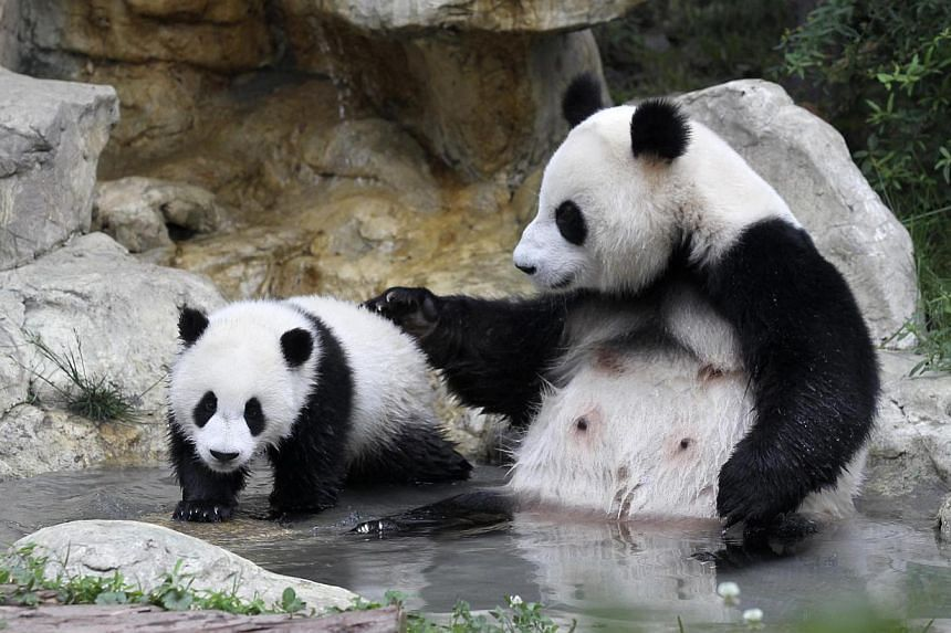 A giant panda cub (left) and its mother play by a pond as they take a bath at the Chengdu Research Base of Giant Panda Breeding in Chengdu, Sichuan province on May 14, 2013. Panda lovers around the world will be able to watch live 24-hour Internet br
