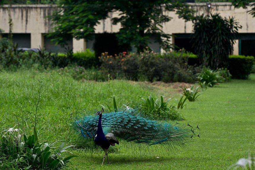 A peacock walks through the premises of the Faridkot House complex in New Delhi on Monday, July 29, 2013. An Indian court has ruled that the daughters of a late maharaja should inherit his 200-billion-rupee (S$4.28-billion) estate because his will wa