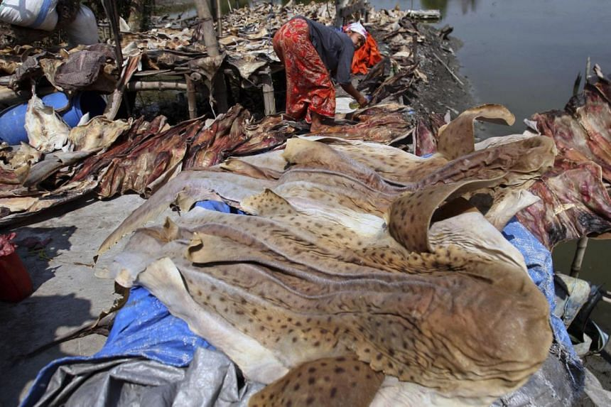 A worker dries shark skins at a fishing vilage in Sidoarjo, East Java, Indonesia on Sunday, July 28, 2012. Indonesia is one of the world's largest shark catchers. -- PHOTO: AP