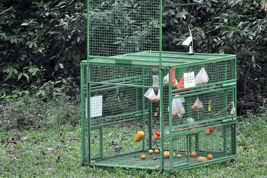 The cage that was allegedly set up by AVA contractor Jack Pang at Bukit Timah Nature Reserve's Kampong Trail on July 16. It is illegal to capture animals in nature reserves without approval from the commissioner of parks and recreation.