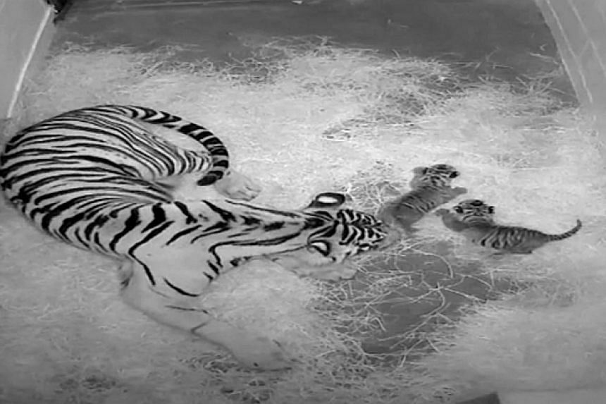 Two rare Sumatran tiger cubs were born this week at the National Zoo in the US capital, in what zookeepers described as a conservation victory for the critically endangered cats. -- PHOTO:AP/ SMITHSONIAN'S NATIONAL ZOO