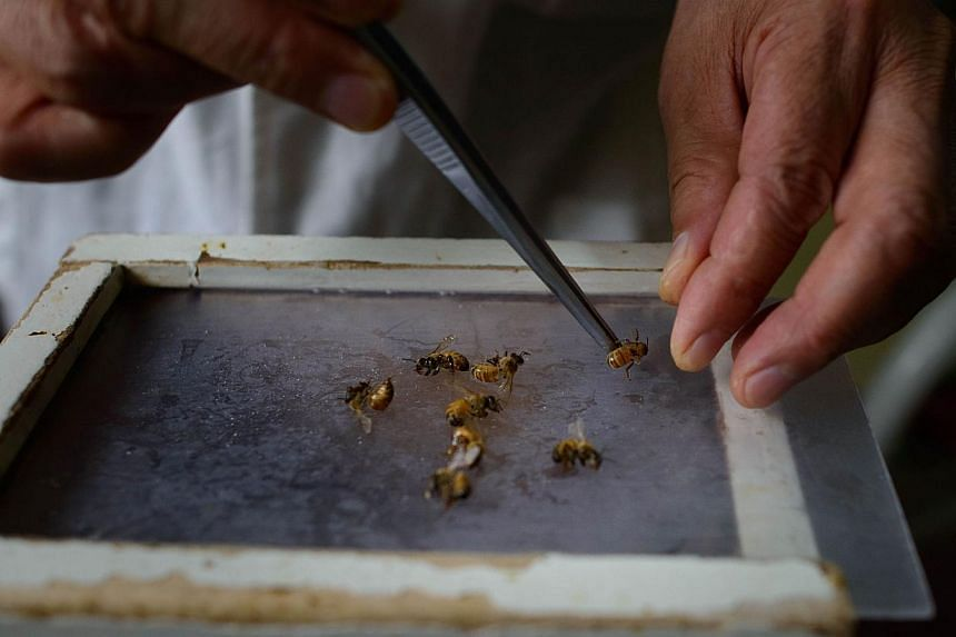 Bees are prepared by a doctor of traditional Chinese medicine at a clinic on the outskirts of Beijing on Aug 2, 2013. Patients in China are swarming to acupuncture clinics to be given bee stings to treat or ward off life-threatening illness, arthriti