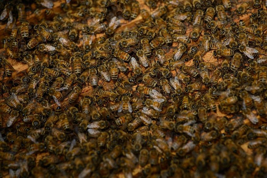 Bees in their hive outside a clinic on the outskirts of Beijing on Aug 2, 2013. Patients in China are swarming to acupuncture clinics to be given bee stings to treat or ward off life-threatening illness, arthritis, and cancer, practitioners say. -- P