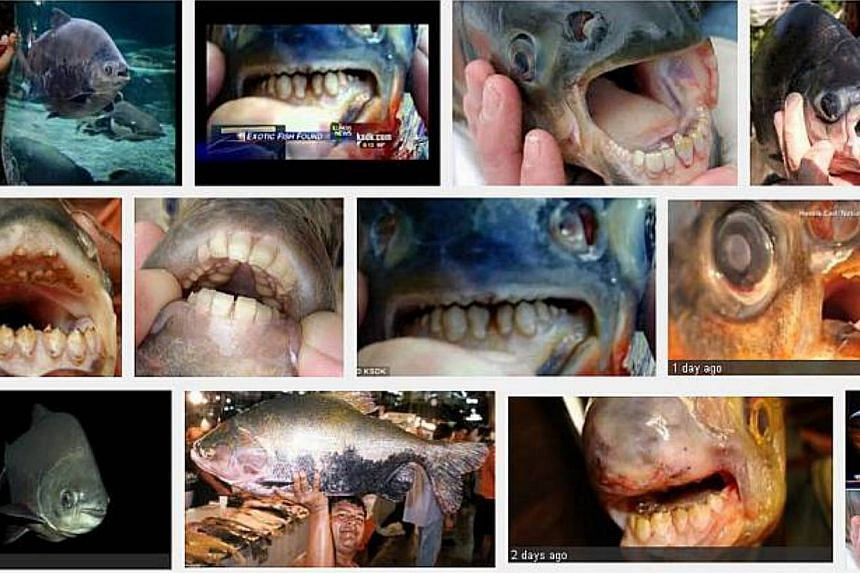 "Photo shows the results of an Internet search for the pacu fish, which is also known as the ""testicle-eating"" fish. -- SCREENGRAB: GOOGLE IMAGES"