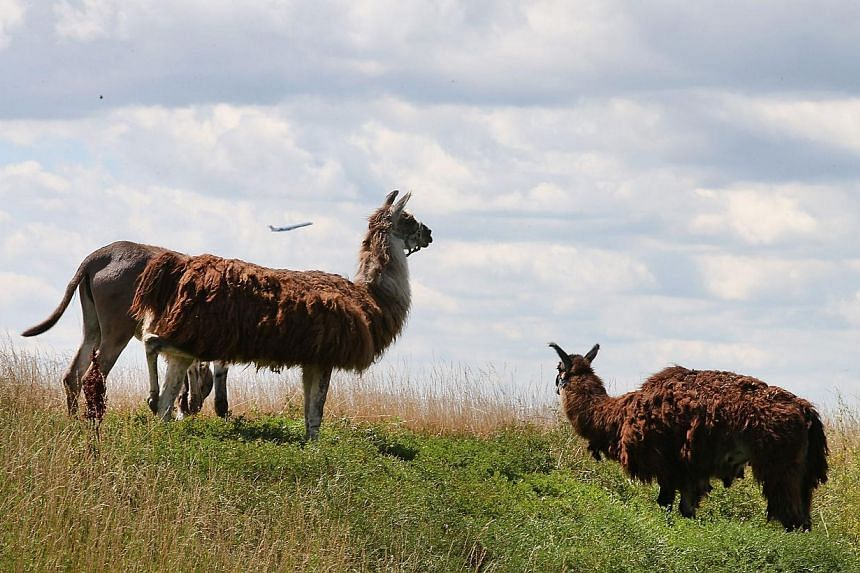 A burros and llamas graze on a two-acre plot of land at O'Hare Airport on Aug 13, 2013 in Chicago, Illinois. The animals are part of a herd of 25 goats, sheep, llamas and burros the airport is using to control about 48ha of dense scrub vegetation tha