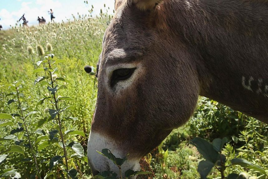 A burro grazes on a two-acre plot of land at O'Hare Airport on Aug 13, 2013 in Chicago, Illinois. The burro is part of a herd of 25 goats, sheep, llamas and burros the airport is using to control about 48ha of dense scrub vegetation that's difficult