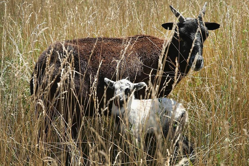 A ewe and her newborn lamb graze on a two-acre plot of land at O'Hare Airport on Aug 13, 2013 in Chicago, Illinois. The animals are part of a herd of 25 goats, sheep, llamas and burros the airport is using to control about 48ha of dense scrub vegetat