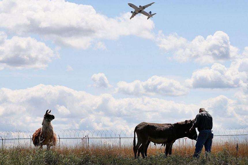 A burros and llama graze on a two-acre plot of land at O'Hare Airport on Aug 13, 2013 in Chicago, Illinois. The animals are part of a herd of 25 goats, sheep, llamas and burros the airport is using to control about 48ha of dense scrub vegetation that