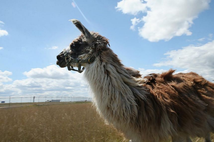 A llama grazes on a two-acre plot of land at O'Hare Airport on Aug 13, 2013 in Chicago, Illinois. The llama is part of a herd of 25 goats, sheep, llamas and burros the airport is using to control about 48ha of dense scrub vegetation that's difficult