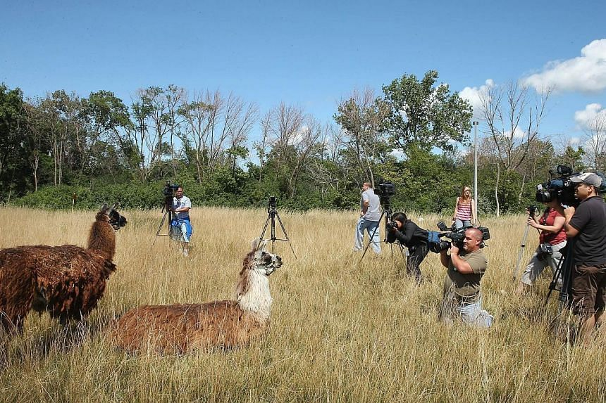 Llamas are introduced to the media at O'Hare Airport on Aug 13, 2013 in Chicago, Illinois. The animals are part of a herd of 25 goats, sheep, llamas and burros the airport is using to control about 48ha of dense scrub vegetation that's difficult to m