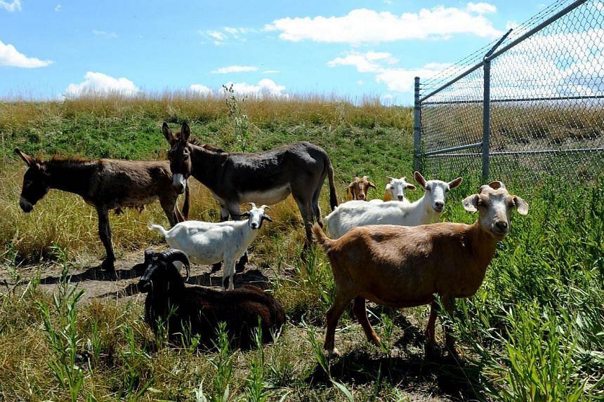 Donkeys and goats used to keep the grass cut at Chicago's O'Hare airport are seen on the other side of a fence from a busy runway on Aug 13, 2013. The airport authority has hired a crew of 25 llamas, donkeys, goats and sheep to help it maintain its s