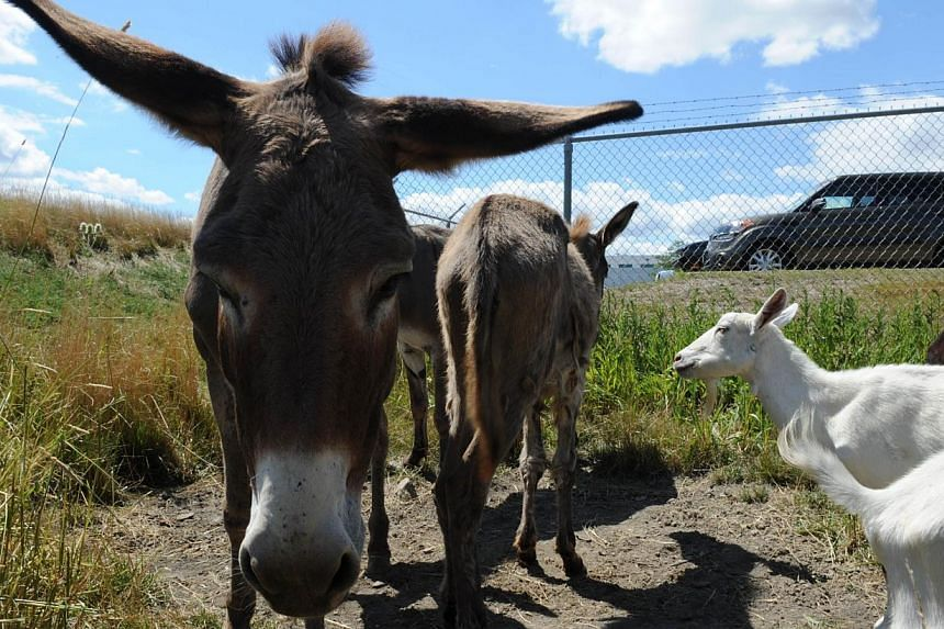 Donkeys and goats used to keep the grass cut at Chicago's O'Hare airport are seen on the other side of a fence from a parking lot next to a busy runway on Aug 13, 2013. The airport authority has hired a crew of 25 llamas, donkeys, goats and sheep to