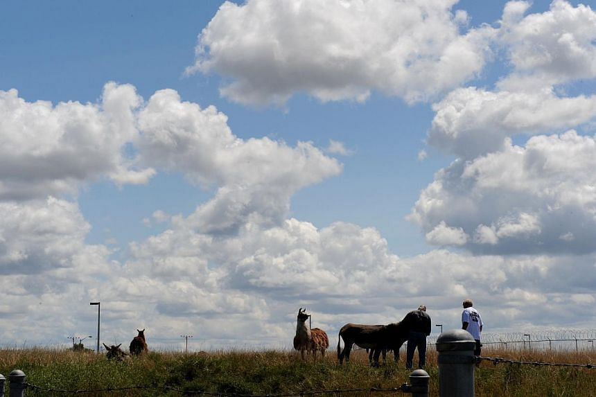 An airplane flies over the heads of a llama and three donkeys used to keep the grass cut and their human minders at Chicago's O'Hare airport on Aug 13, 2013. The airport authority has hired a crew of 25 llamas, donkeys, goats and sheep to help it mai