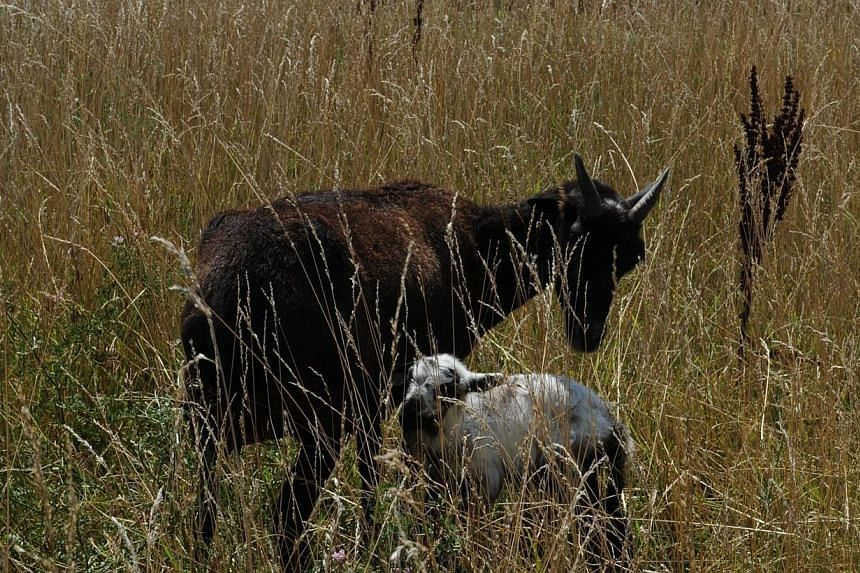 A goat and her baby which are used to keep the grass cut at Chicago's O'Hare airport are seen on Aug 13, 2013. The airport authority has hired a crew of 25 llamas, donkeys, goats and sheep to help it maintain its sprawling grounds in order to keep wi