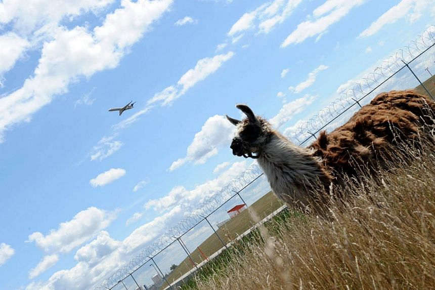 An airplane flies over the head of a llama used to keep the grass cut at Chicago's O'Hare airport on Aug 13, 2013. The airport authority has hired a crew of 25 llamas, donkeys, goats and sheep to help it maintain its sprawling grounds in order to kee