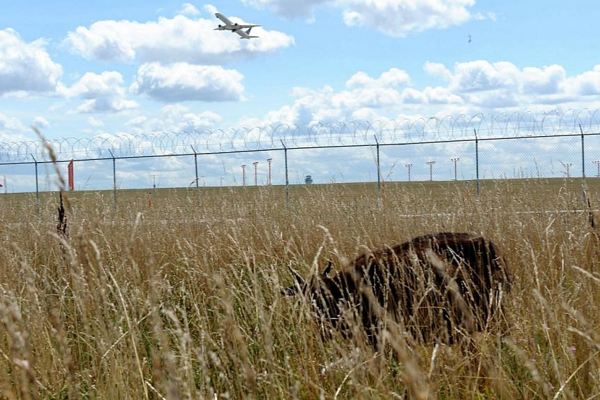 An airplane flies over the head of a goat used to keep the grass cut at Chicago's O'Hare airport on Aug 13, 2013. The airport authority has hired a crew of 25 llamas, donkeys, goats and sheep to help it maintain its sprawling grounds in order to keep