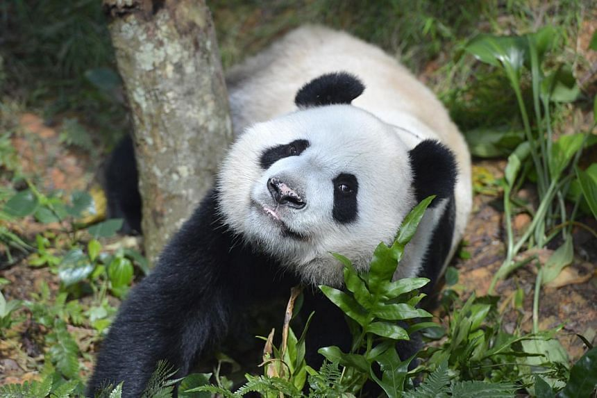 River Safari has planned a slew of activities to celebrate the birthdays of Kai Kai (above) and Jia Jia next month. -- ST FILE PHOTO
