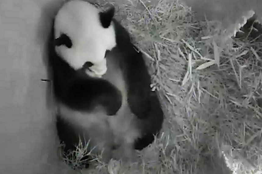 This handout photo shows a new born panda on Aug 14, 2013 at the Schoenbrunn zoo in Vienna. The Vienna zoo on Thursday made a birth announcement: Yang Yang and her mate Long Hui are the proud parents of another baby panda, the third one born of natur
