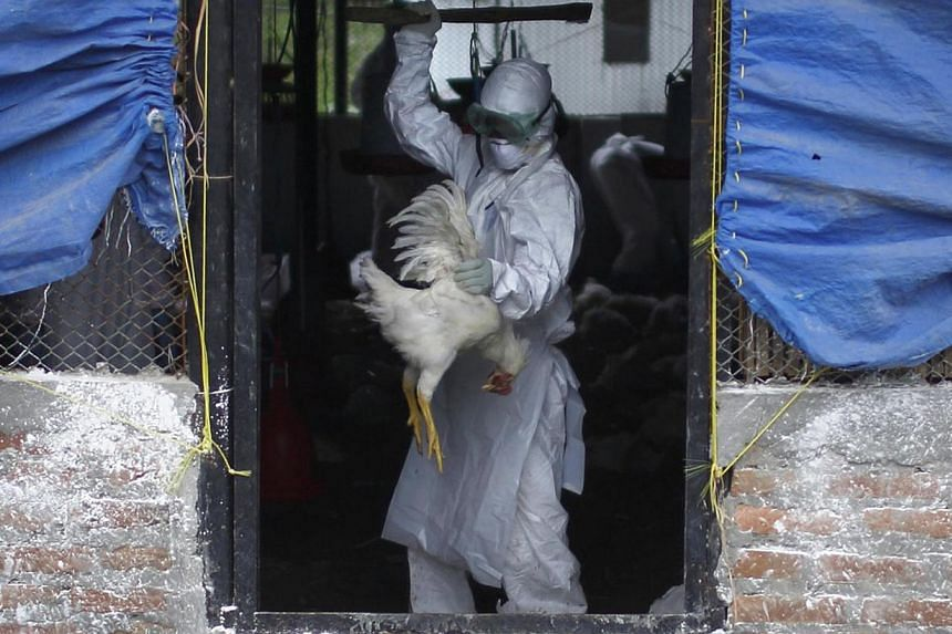 A member of a Rapid Response Team (RRT) culls a rooster at a poultry farm infected with the H5N1 bird flu virus in Bhaktapur, Aug 2, 2013. Nepal's government on Thursday ordered health workers to cull half a million chickens to combat a major bird fl