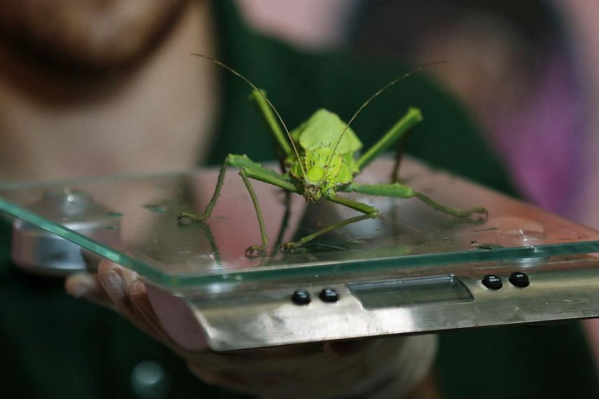 A zookeeper weighs a giant stick insect during the annual weigh-in at London Zoo, London, Wednesday, Aug 21, 2013, where creatures are weighed and measured for their measurements to be recorded into the Zoological Information Management System (Zims)