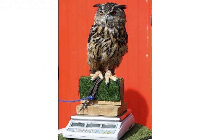 Max, an eurasian eagle-owl, sits on a scale during the annual weigh-in at London Zoo, London, Wednesday, Aug 21, 2013, where creatures are weighed and measured for their measurements to be recorded into the Zoological Information Management System (Z