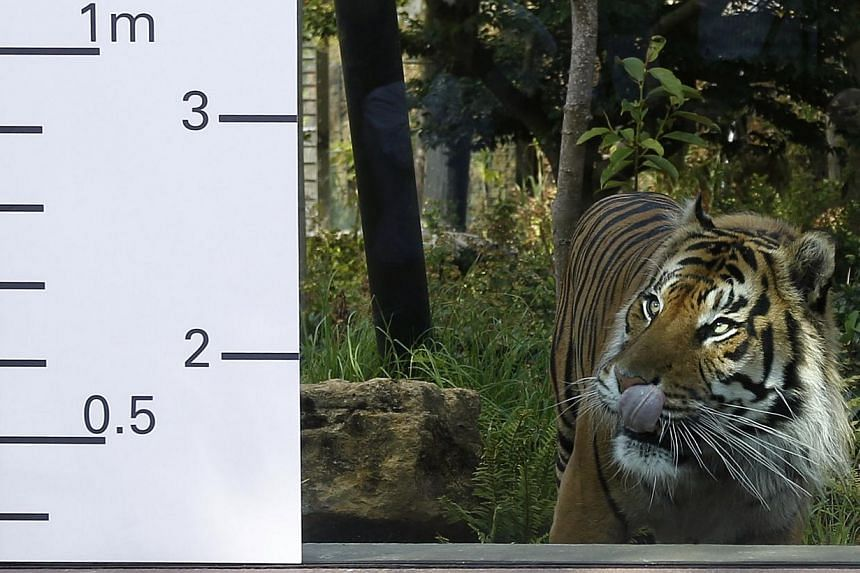Jae Jae, a sumatran tiger, licks its lips as it approaches a height chart during a photocall to publicise the annual measuring of all the animals at the London Zoo, in central London on Wednesday, Aug 21, 2013. -- PHOTO: REUTERS