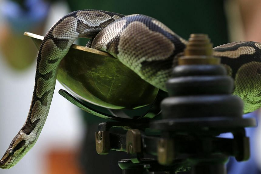 A royal python sits on a scale during the annual weigh-in at London Zoo, London on Wednesday, Aug 21, 2013, where creatures are weighed and measured for their measurements to be recorded into the Zoological Information Management System (Zims). -- PH