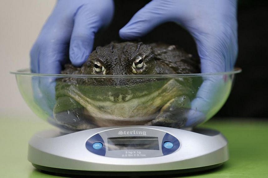 An african bullfrog is weighed on a scale during a photocall to publicise the annual measuring of all the animals at the London Zoo, in central London on Wednesday, Aug 21, 2013. -- PHOTO: REUTERS