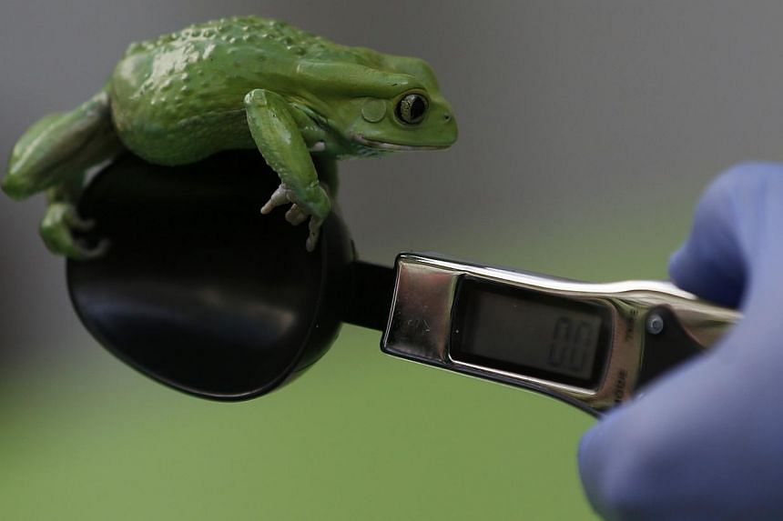 A zookeeper weighs a waxy monkey frog during the annual weigh-in at London Zoo, London, Wednesday, Aug 21, 2013, where creatures are weighed and measured for their measurements to be recorded into the Zoological Information Management System (Zims).