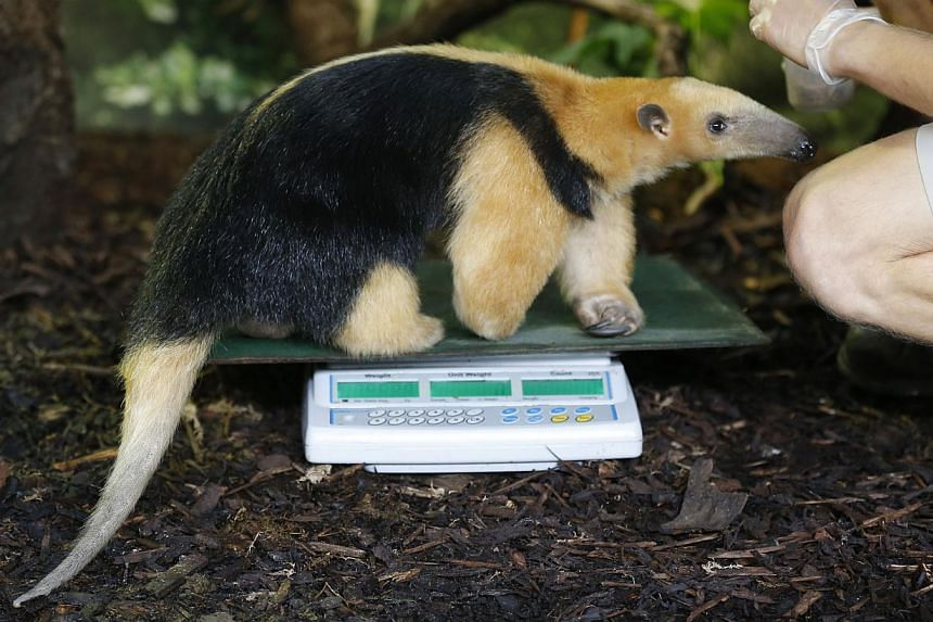 A zookeeper weighs Tammy, a tree anteater, during the annual weigh-in at London Zoo, London on Wednesday, Aug 21, 2013, where creatures are weighed and measured for their measurements to be recorded into the Zoological Information Management System (