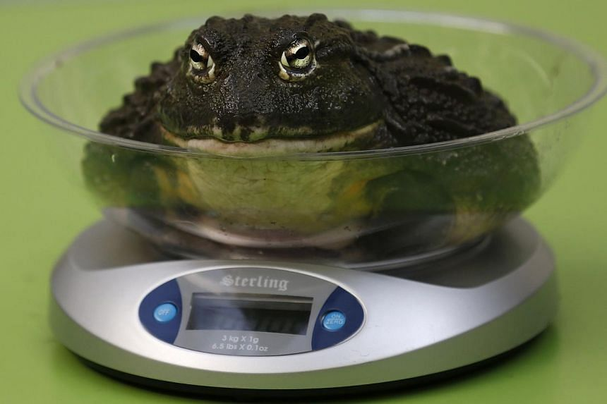 A giant african bull frog sits on a scale during the annual weigh-in at London Zoo, London, Wednesday, Aug 21, 2013, where creatures are weighed and measured for their measurements to be recorded into the Zoological Information Management System (Zim