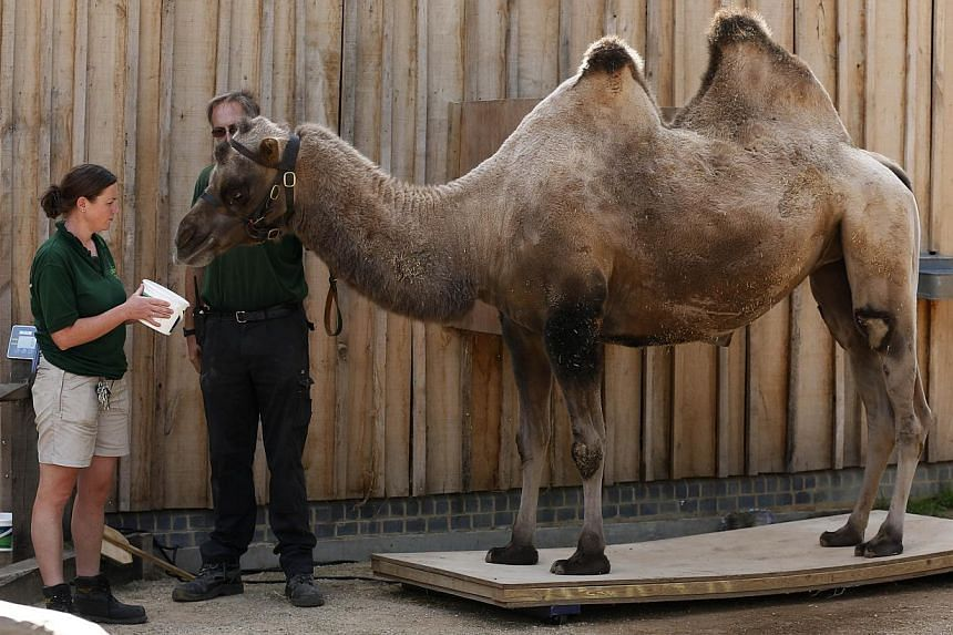 Zookeepers weigh Noemie, a bactrian camel, during the annual weigh-in at London Zoo, London, Wednesday, Aug 21, 2013, where creatures are weighed and measured for their measurements to be recorded into the Zoological Information Management System (Zi