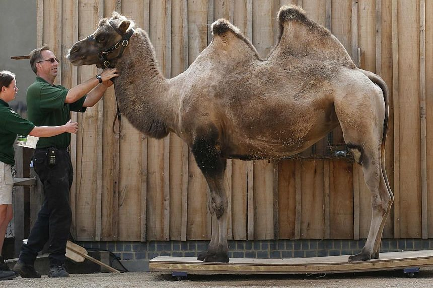 Zookeepers weigh Noemie, a bactrian camel, during a photocall to publicise the annual measuring of all the animals at the London Zoo, in central London on Wednesday, Aug 21, 2013. -- PHOTO: REUTERS