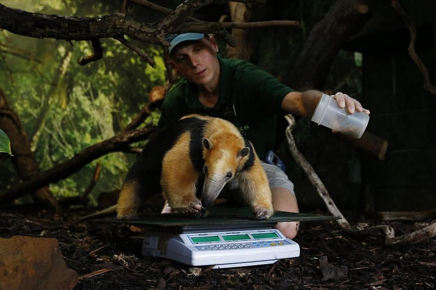Keeper Marcel McKinley uses worms to entice Tammy, a tree anteater, to stay on a scale during a photocall to publicise the annual measuring of all the animals at the London Zoo, in central London on Wednesday, Aug 21, 2013. -- PHOTO: REUTERS