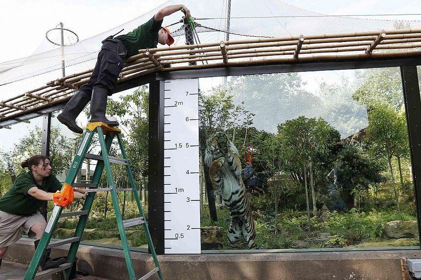 Keeper Paul Kybett dangles a piece of meat to entice Jae Jae, a sumatran tiger, to jump up next to a height chart during a photocall to publicise the annual measuring of all the animals at the London Zoo, in central London on Wednesday, Aug 21, 2013.