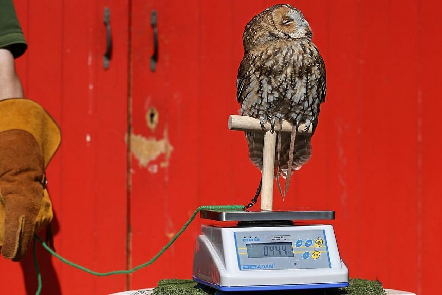 Alberta, a tawny owl, perches on a scale during a photocall to publicise the annual measuring of all the animals at the London Zoo, in central London on Wednesday, Aug 21, 2013. -- PHOTO: REUTERS