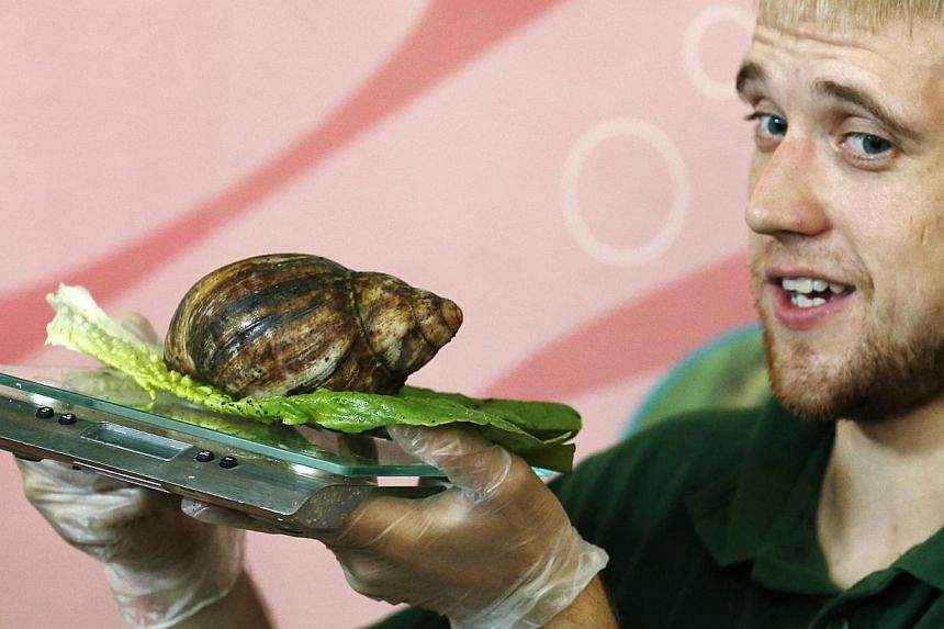 Keeper Jeff Lambert holds a scale while he weighs a giant african land snail during a photocall to publicise the annual measuring of all the animals at the London Zoo, in central London on Wednesday, Aug 21, 2013. -- PHOTO: REUTERS