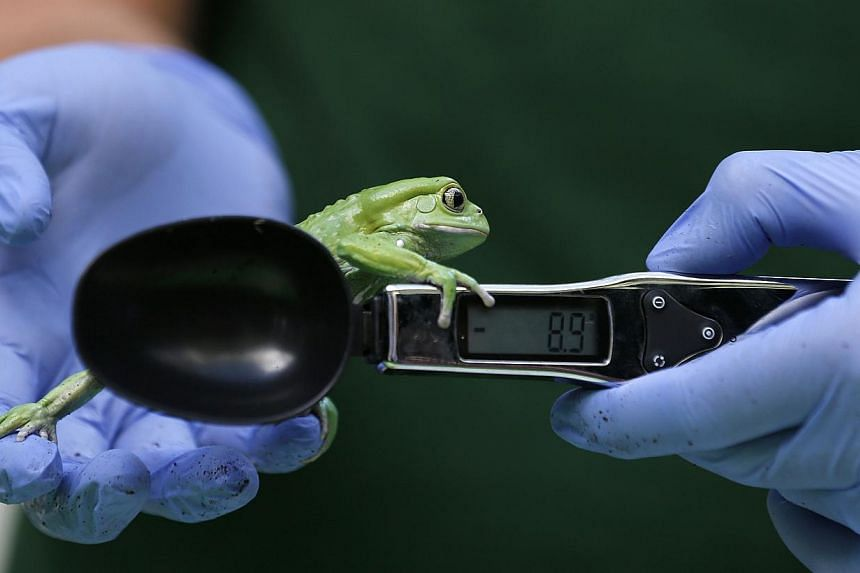 A waxy monkey tree frog is weighed in a measuring device during a photocall to publicise the annual measuring of all the animals at the London Zoo, in central London on Wednesday, Aug 21, 2013. -- PHOTO: REUTERS